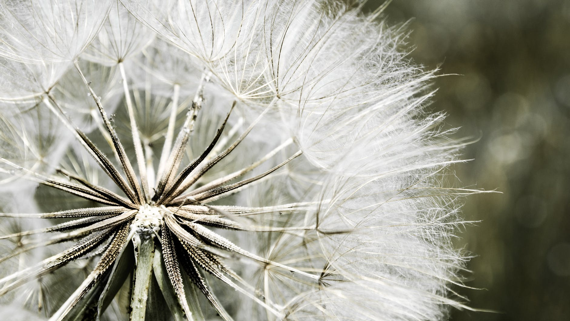 dandelion-nature-flora-white-51426.jpeg
